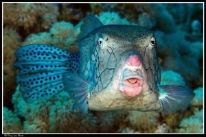 boxfish by Dray Van Beeck