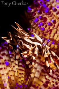 Zebra Crab by Tony Cherbas