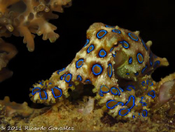 Blue-ringed octopus Probably world's most poisonous anim... by Ricardo Gonzalez