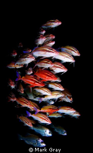 """The herd"" of Goatfish by Mark Gray"