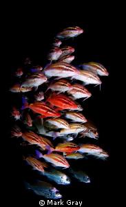 """The herd"" of Goatfish by Mark Gray"