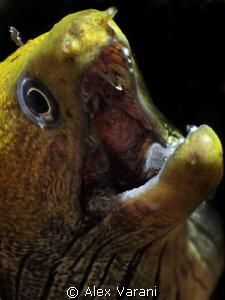 Gymnothorax fimbriatus by Alex Varani