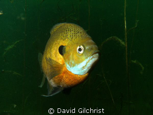 Nesting Bluegill Sunfish, 1 by David Gilchrist