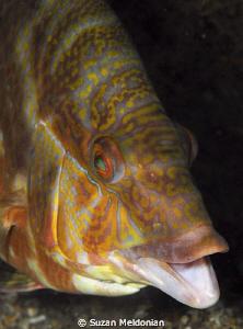 Hogfish chatter-talking! by Suzan Meldonian