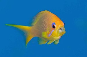 A female Anthias feeding mid-water.  The gulp to eat plan... by Paul Colley