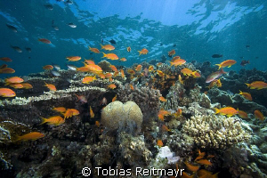Anthias in the shallows, Umma Gamar, Hurghada. by Tobias Reitmayr