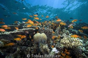 Anthias in the shallows, Umma Gamar, Hurghada. by Tobias Reitmayr