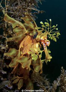 Leafy Sea Dragon by Christine Hamilton