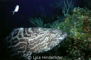 Goliath Grouper by Lisa Hinderlider