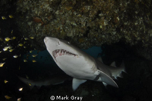 """""""Keeper of the cave""""......GNS inside the """"Cod Hole"""", Byro... by Mark Gray"""
