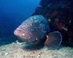 Grouper (Epinephelus marginatus). Mediterranean. La Gabin... by Albert Kok