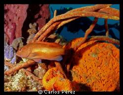 Juvenile Grouper diver view @ El Natural beach Aguadilla ... by Carlos Pérez