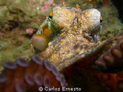 Octopus vulgaris.Olympus c-7070 and Ys strob by Carlos Ernesto