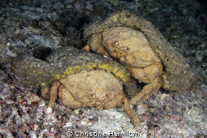 Two Sponge Crabs Caught in the Act ! by Christine Hamilton