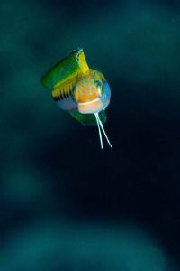 Sabre-Toothed Blenny by Paul Colley