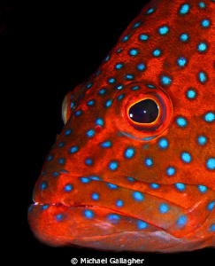 Coral Cod portrait, Red Sea, Sudan by Michael Gallagher