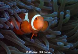 Amphiprion ocellaris or False Clown Anenomefish. Photo ta... by Bonnie Mckenna
