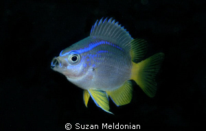 Cocoa Damselfish juvenile- Inhaling a little lunch. by Suzan Meldonian