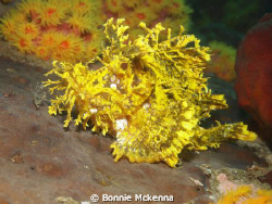 Rhinopias sp. or Weedy Scorpionfish in a yellow phase. by Bonnie Mckenna