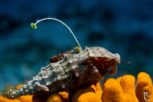 """Live on air"" - This small hermid crab seems to have a pr... by Rico Besserdich"