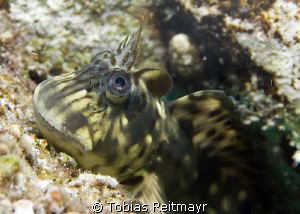 """Domesticated"" Blenny X, Sand Beach, Hurghada. by Tobias Reitmayr"