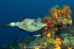Cozumel, scrawled file fish, Tokina 10-17mm by Larry Polster
