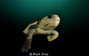 """Old Hand"". Loggerhead Turtle by Mark Gray"