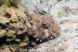 Scorpion Fish hiding out behind some coral. by Nathan Cook