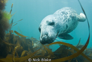 Grey seal photographed at Lundy Island. by Nick Blake
