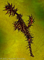 Ornate ghost pipefish against coral by Ricardo Gonzalez