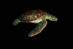 A green sea turtle (Chelonia mydas) cruising by on a nigh... by Steve De Neef