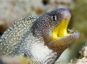 Yellow-mouth moray getting cleaned, El Fanadir, Hurghada. by Tobias Reitmayr