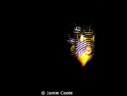 """Shaw it's a Cow? A """"Shaws cow fish"""" moving in for a clos... by Jamie Coote"""