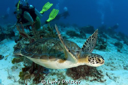 Green turtle with divers, Cozumel. by Larry Polster