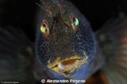 Parablennius pilicornis by Alessandro Pagano