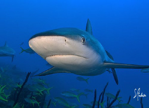 Reef Sharks up close seem to be an often occurrence when ... by Steven Anderson