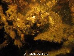little scorpion fish, Zeeland. Scharendijke The Netherlands by Judith Verkerk