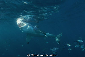 """""""What Big Teeth You Have !""""  Great White Shark by Christine Hamilton"""