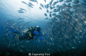 School of Jack Fish & Diver by Jagwang Koo