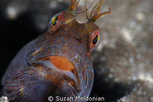 . . . just Curious !   (seaweed blenny guarding it's eggs) by Suzan Meldonian