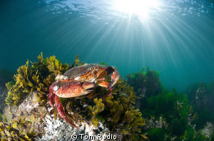 Red Rock Crab getting some sun Seattle, WA, U.S.A. by Tom Radio