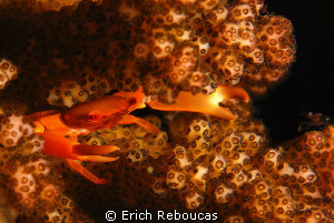Glowing crab in its glowing coral  :) by Erich Reboucas