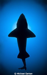 This image of a Sand Tiger Shark was shot with a fisheye ... by Michael Gerken