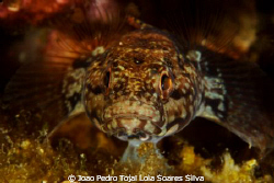 Goby (Gobius paganellus) portrait using Canon EOS 350D in... by Joao Pedro Tojal Loia Soares Silva