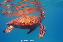 Greenback turtle coming up for a breath, Caught this shot... by Paul Olson