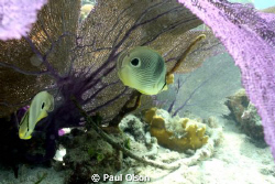 Two Four-eyed Butterflyfish taken while snorkeling at Sal... by Paul Olson