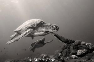 Two Hunu (Green sea turtles) taken at the Haleiwa cleanin... by Stuart Ganz