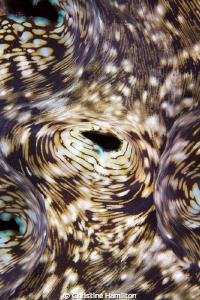 Clam Patterns by Christine Hamilton