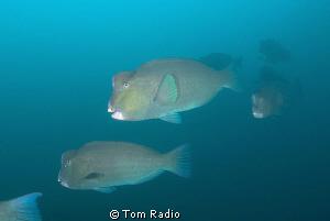 Bumphead Parrotfish Bali, Indonesia by Tom Radio