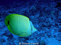 Lemon Butterfly fish by Steven Daniel